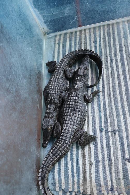Egipt - hodowla krokodyli