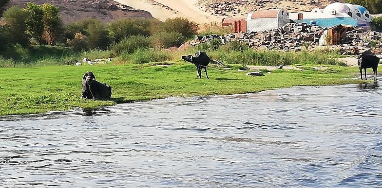 Egipt - zwierzęta nad brzegiem Nilu