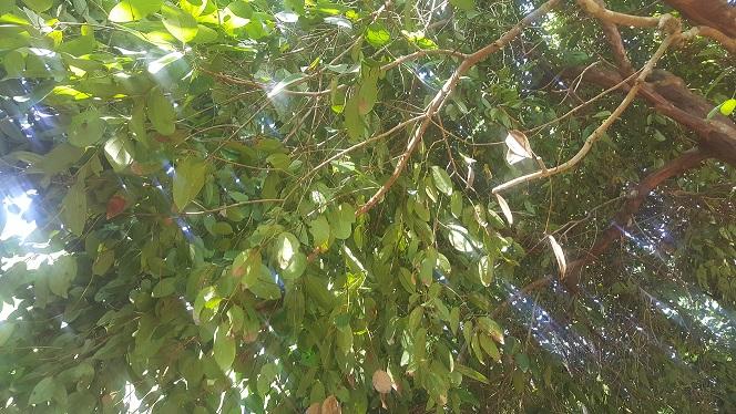 Zanzibar, drzewo wiecznie zielone, cynamon