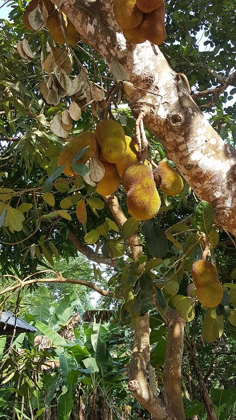 Zanzibar, owoc chlebowca