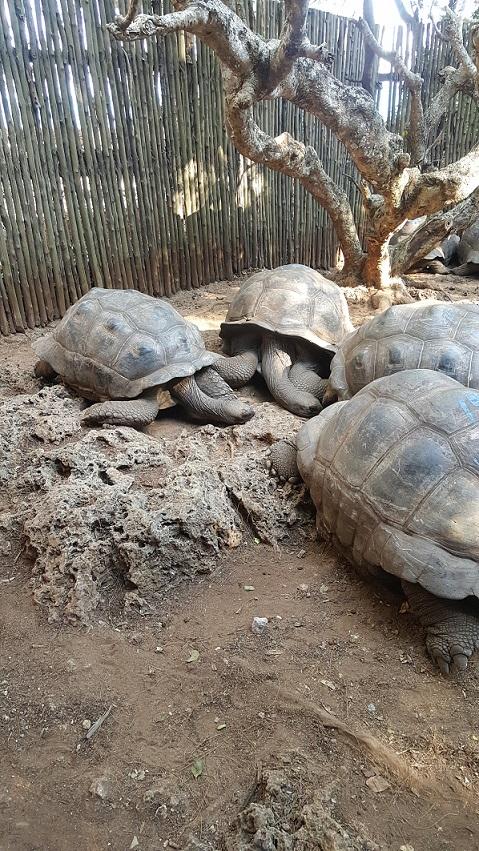 Zanzibar, Prison Island, żółwie
